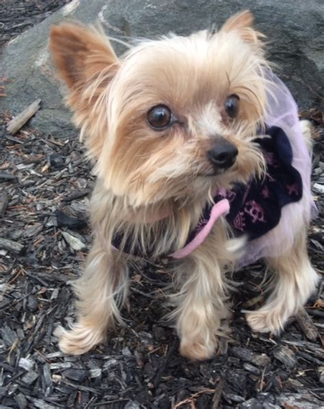 yorkie rescue pittsburgh ohia s web page