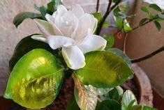 flowers  gardenia plant    blooms