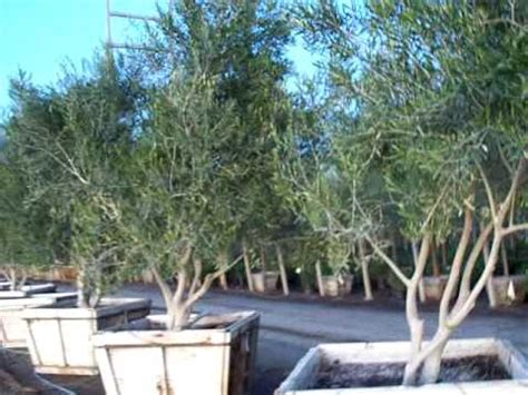 olive wilsonii fruitless multi 48box 2 mov youtube