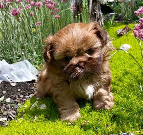 shih tzu puppies utah enchanted mountain shih tzu and imperial and dads utah breeder of quality