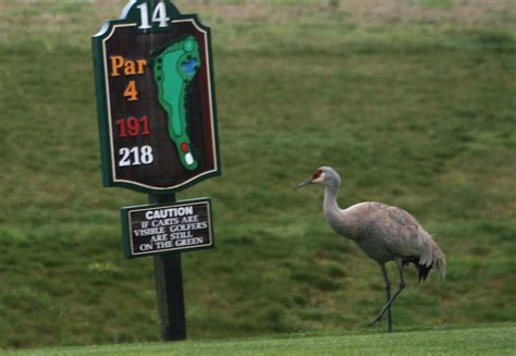 sandhill crane golf course in rock paper lizard sandhill cranes on lulu island