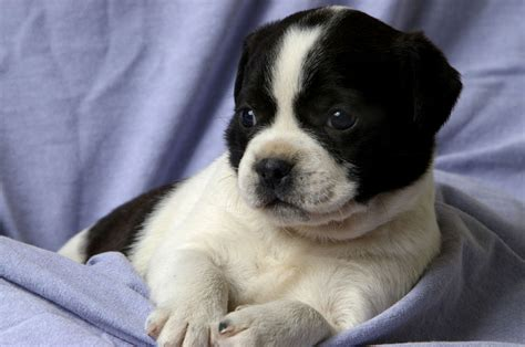 puppy age shih tzu puppy haircuts puppies puppy