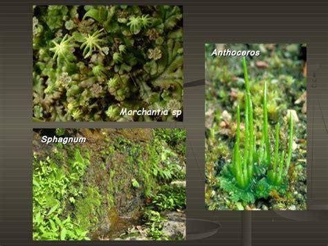 kingdom plantae dunia tumbuhan 8 dunia tumbuhan kingdom plantae