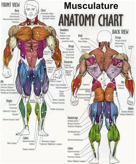 muscles diagrams diagram of muscles and anatomy charts personal