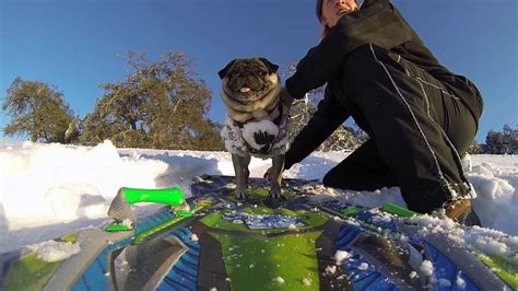 pugs and show pug goes snowboarding and shows humans how it s done
