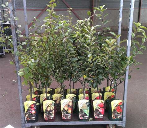 tree shop co uk patio cherry tree stella prunus