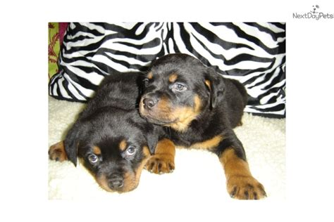 rottweiler puppies for sale in new york rotti rottweiler puppy for sale near new york city new york 16318c63 d141