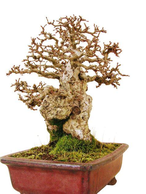 Juicer 7 In 1 Genki korea hainbuche ck35 1 genki bonsai