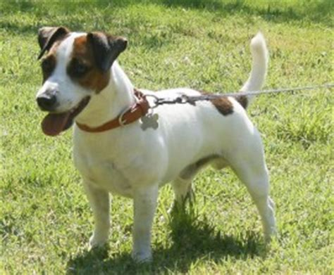 imagenes de un jack russell ficha de don chichi un perro de quiquelin perros com
