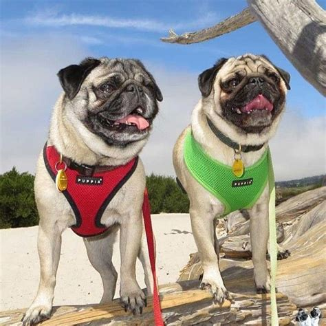 pug harness puppia 17 best images about puppia products on names posts and supplies