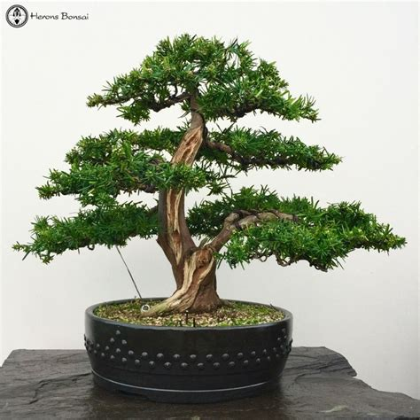 pin  henri peraekylae  bonsai artificial garden plants
