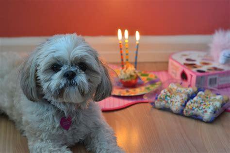 my shih tzu puppy wont eat shih tzu birthday cake breeds picture