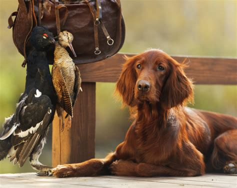irish setter working dog the irish setter totally gundogs