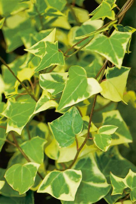 variegata german ivy senecio mikanioides proven winners