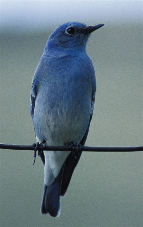 Blue Biru meaning is a blue bird the same as a bluebird