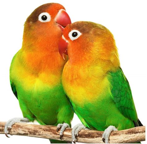 love birds as pets related keywords love birds as pets long tail keywords keywordsking
