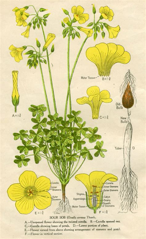 Oxalis pes caprae   Australian Botanical Illustration   Art Gallery