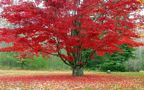 maple tree for sale maple tree for sale 13 99 order now