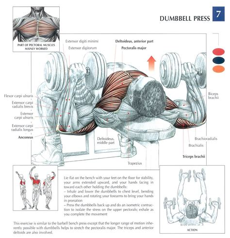 dumbbell chest search results calendar 2015