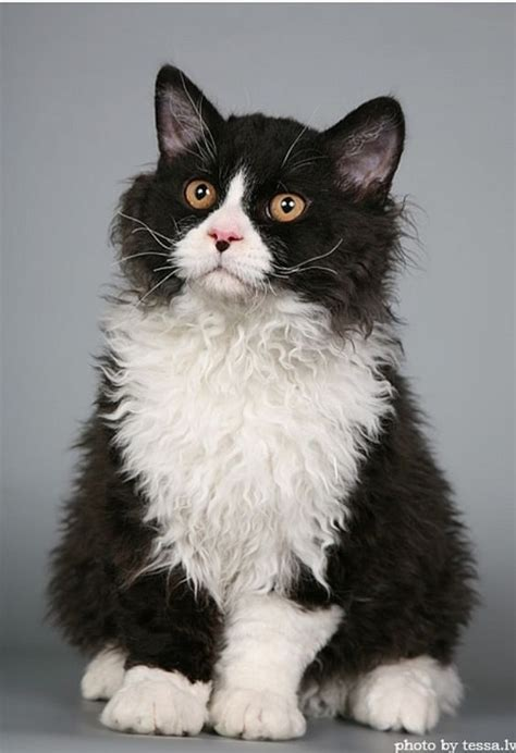 All About TUXEDO CAT FACTS & PERSONALITY   TUXEDO CAT BREED