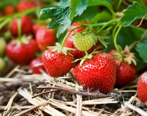 Erdbeerzeit In Deutschland 187 Wann Ist Es So Weit