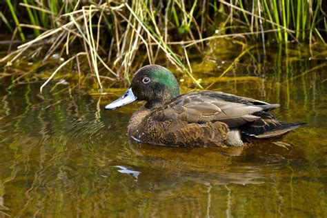 brown and teal brown teal new zealand birds online