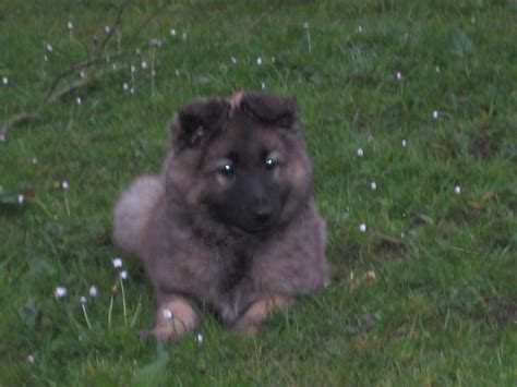 german puppies for sale german shepherd puppies for sale heywood greater manchester pets4homes