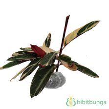 Tanaman Hias Calathea Saputangan tanaman aglaonema bidadari bibitbunga