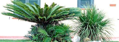 palma da giardino una palma in giardino s 236 o no cose di casa