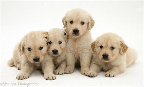 golden retriever similar dogs golden retriever puppies 19 cool wallpaper dogbreedswallpapers