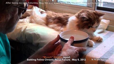 kidney failure when to euthanize feline chronic renal kidney failure dehydration crash facing euthanasia the cat