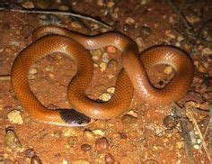 by ruth palmer piles of reptiles pinterest copperhead in water copperhead in water jpg snakes