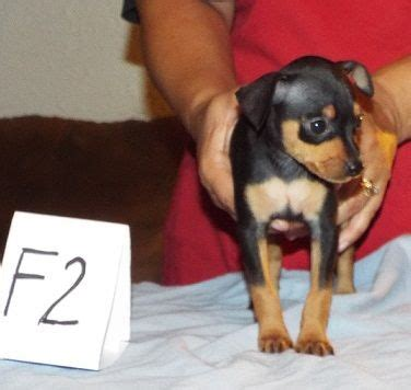 free puppies youngstown ohio akc miniature pinscher puppies youngstown ohio pets for sale classified ads