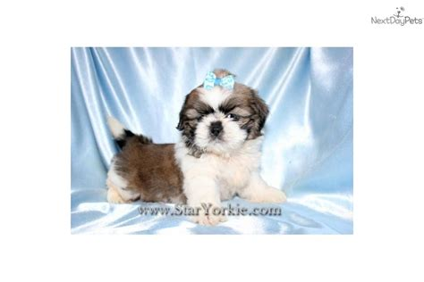 teacup shih tzu puppies for sale in nj shih tzu poodle mix puppies for sale california breeds picture