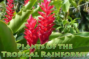 Plants From The Tropical Rainforest - plants in the tropical rainforest pictures facts information