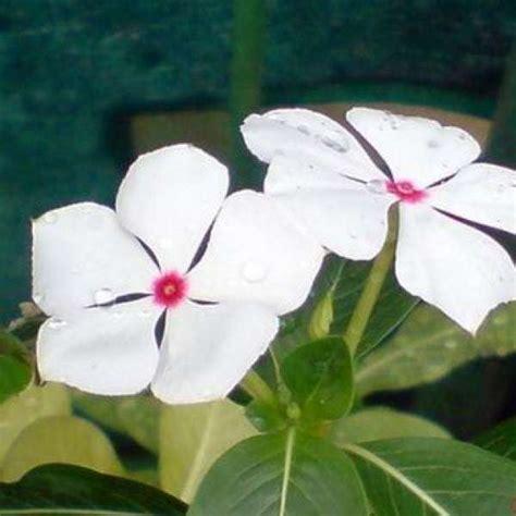 Pupuk Untuk Bunga Tapak Dara jual bibit unggul tanaman vinca bunga tapak dara putih
