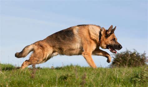 rk puppies german shepherd breed information