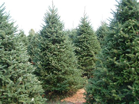 wholesale christmas tree farms photo albums fabulous