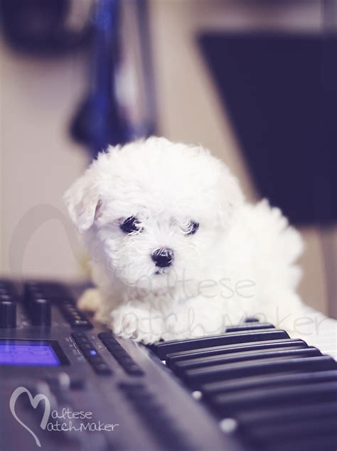 puppy keyboard teeny tiny maltese puppy available sold 187 maltese matchmaker