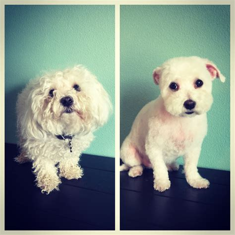 dogs before and after spring haircuts hairstyles for maltipoos hairstyle of nowdays