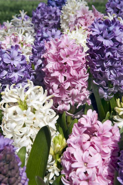 dutch hyacinth discover flower bulbs
