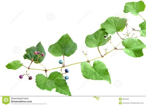 grape vine stock image image of rural seasonal growing 2607903