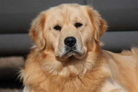shiba inu golden retriever mix golden retriever mix breeds breeds picture