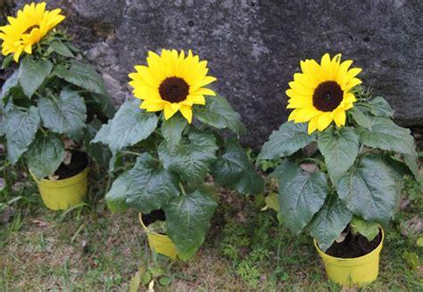 cara merawat bunga matahari rumah tanaman hias bunga