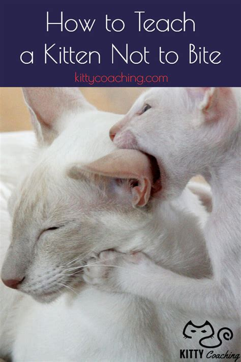 how to the not to bite how to teach a kitten not to bite 2018