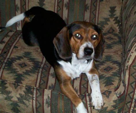 beagle puppies price pin beagle price in chennai on