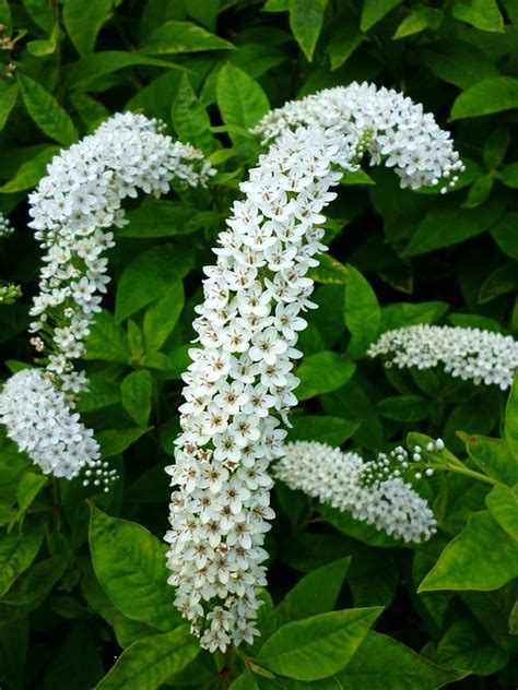 white flower shrub free photo white flower plant nature bush free
