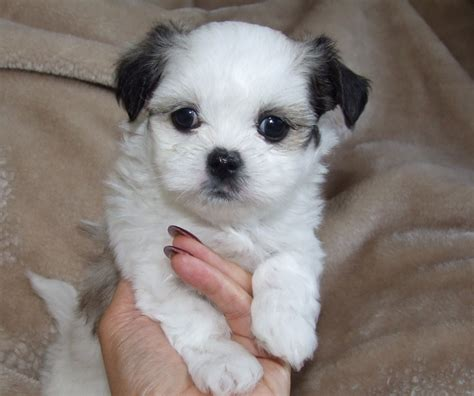 miniature maltese shih tzu tiny mini malshi boy puppy shih tzu x maltese poole dorset pets4homes