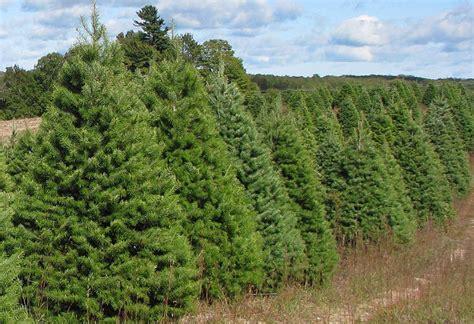morning star ranch christmas tree plantation nanaimo