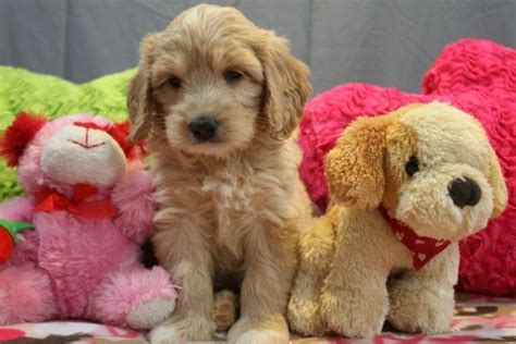 doodle puppies for sale michigan labradoodle puppies for sale in mi cutie pies
